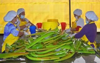 Verarbeitung von Aloe Vera für Pflegeprodukte Colonche Line
